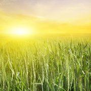 tall-grass-sunrise